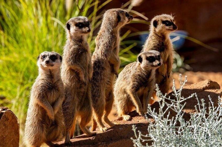 Meerkats - Taronga Zoo