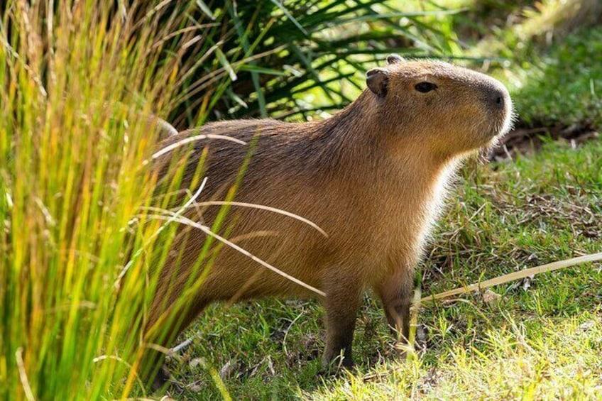 Capybara - Taronga Zoo