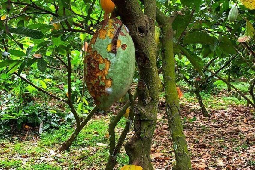 Show item 2 of 17. One Day Cocoa Farm Experience, Boti Waterfall,aburi Botanical Gardens
