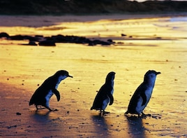 Penguin Parade & Exclusive Wildlife Encounter (11 guests)