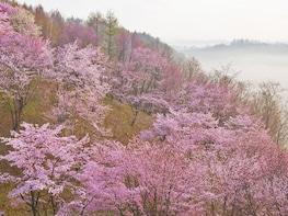 Sakura Sky Cruise — Kyoto/Nara from Kobe