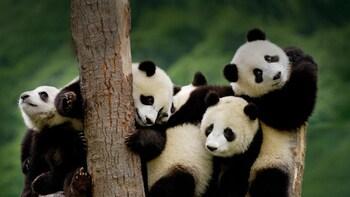 Dujiangyan Panda Rescue Center Volunteer A Day from Chengdu