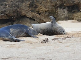 Learn Hawaiian Monk Seal Tour -- North Shore