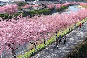 Kawazu Cherry Blossom Experience (Feb 10 - Mar 10, 2020)
