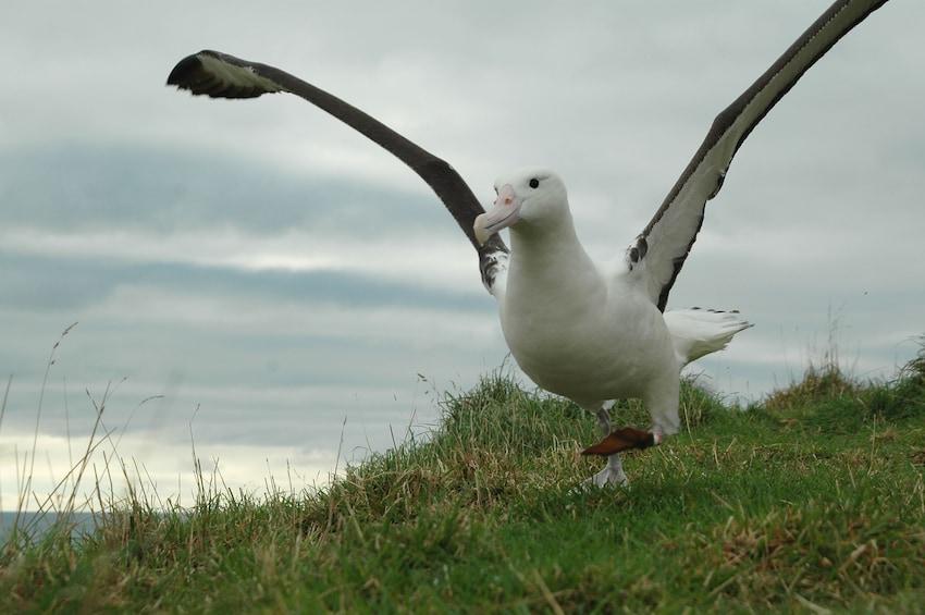 Show item 9 of 9. Royal Albatross Centre