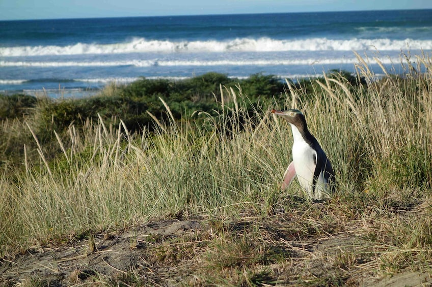 Show item 2 of 9. Yellow eyed penguin