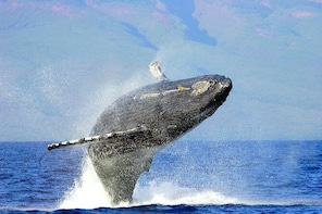 Humpback Whale & Dolphin Search 2 hrs Private Charter 30 guests