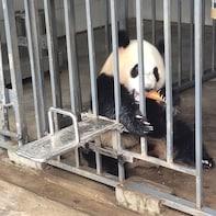 Dujiangyan Wolong Panda Tour option panda keeper experience