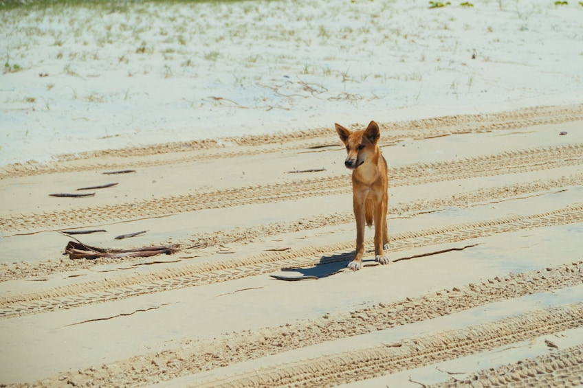 Show item 4 of 4. Dingo's 3 Day Tag Along Fraser Island 4WD Adventure