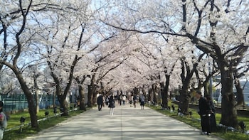 [Spring Only] 1-DAY TOUR: SNOW MONKEY & CHERRY BLOSSOM