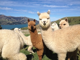 Akaroa Excursion - Alpaca & Peninsula Pvt 1/2 Day Tour