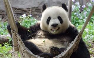 Mutianyu Great Wall and Panda Beijing Layover Tour