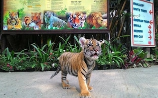 TIGER KINGDOM PHUKET BIG TIGER IN PHUKET