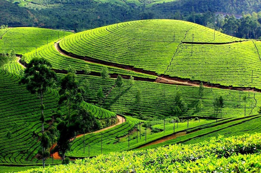 Show item 1 of 1. Private Day Trip to Munnar from Kochi (Cochin)