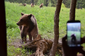 From Brasov: Bear watching tour in the Land of Volcanoes