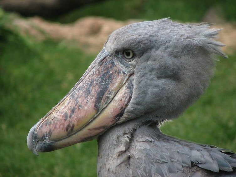 Show item 1 of 7. Shoebill Stork & other bird species birdwatching